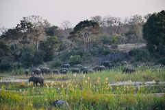African Elephants and calves in the wild stock images