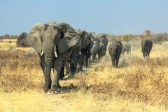 African elephants charge Stock Image