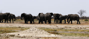 African Elephants Close up Drinking Royalty Free Stock Images