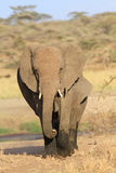 The African elephants Royalty Free Stock Photos