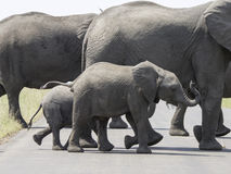 African elephants crossing a road Royalty Free Stock Photography