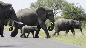 African elephants crossing a road Stock Photo