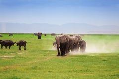 African elephants with cubs walking in savanna. A herd of African elephants with cubs walking in Kenyan savannah leaving clouds of dust behind stock image