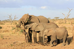 The African elephants of different age Stock Photos