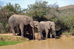 African elephants drinking Royalty Free Stock Image