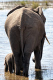 African Elephants drinking. Elephants at the waters edge drinking Royalty Free Stock Photography