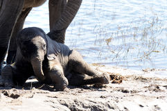 African Elephants drinking. Elephants at the waters edge drinking Stock Photo