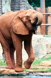 African elephants drinking Stock Image