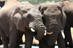 African Elephants Drinking Stock Photography