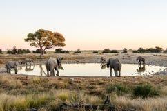African Elephants drinking around a waterhole Stock Image