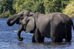 African Elephants Drinking - Botswana Stock Photography