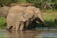 African elephants drinking, Kruger, South Africa Royalty Free Stock Photo