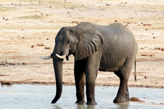 African elephants drinking at a muddy waterhole Royalty Free Stock Photo