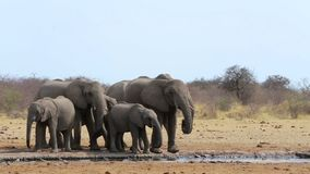 African elephants drinking at a muddy waterhole stock video footage
