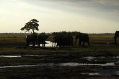 African Elephants Drinking on the Plains Royalty Free Stock Image