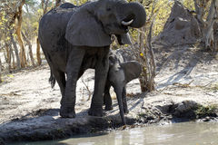 African Mum & Baby Elephant Drinking on the Plains Stock Image