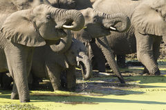 African Elephants drinking, South A. Herd of African Elephants (Loxodonta africana) drinking water from a natural pan in South Africa's Kruger Park Royalty Free Stock Photography