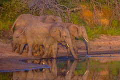 African Elephants drinking at sunrise royalty free stock photography