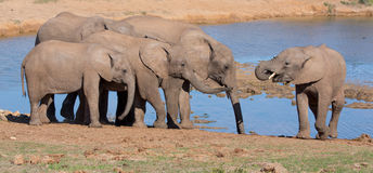 African Elephants Drinking Water Stock Image