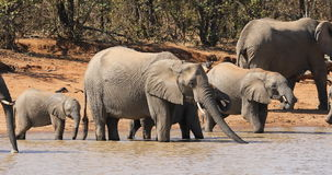 African elephants drinking water stock video