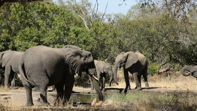 African elephants drinking water Royalty Free Stock Photography