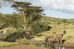 African Elephants drinking water at pond in afternoon light at Lewa Conservancy, Kenya, Africa Stock Photography