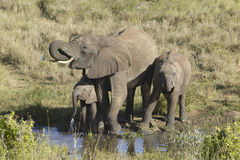 African Elephants drinking water at pond in afternoon light at Lewa Conservancy, Kenya, Africa Royalty Free Stock Images
