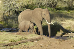 African Elephants drinking water at pond in afternoon light at Lewa Conservancy, Kenya, Africa Royalty Free Stock Photo