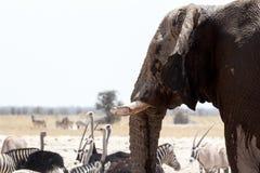 African elephants drinking at waterhole Stock Image