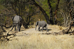 African Elephants among dead trees on the Plains Royalty Free Stock Photo
