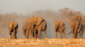 African elephants in dust Stock Photo