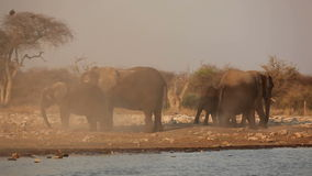 African elephants in dust stock footage