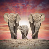 The African elephants. Stock Images
