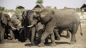 African elephants at Elephant sand waterhole, Botswana Royalty Free Stock Images