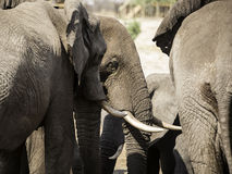 African elephants at Elephant sand waterhole, Botswana Royalty Free Stock Photos