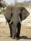 African elephants at Elephant sands waterhole, Botswana Royalty Free Stock Images