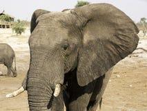 African elephants at Elephant sands waterhole, Botswana Royalty Free Stock Photography
