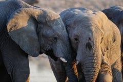 African elephants, etosha nationalpark, namibia Stock Photos