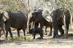 African Elephants family group on the Plains. The African Bush elephant is the largest of the two sub-species of African elephant Stock Photo