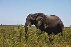 African elephants feeding in dense bush, in the Bwabwata National Park, Namibia Royalty Free Stock Photo