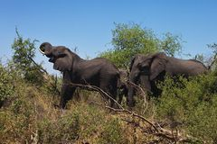 African elephants feeding in dense bush, in the Bwabwata National Park, Namibia Stock Photography