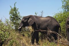 African elephants feeding in dense bush, in the Bwabwata National Park, Namibia Royalty Free Stock Photography