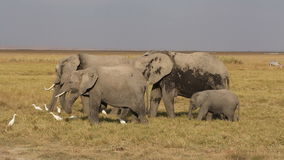 African elephants feeding stock video