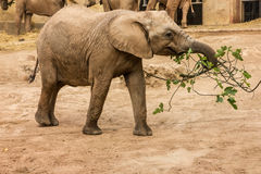 African elephants feeding, Lisbon zoo Stock Photography