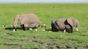 African elephants feeding in marshy lowland against the yellowed savannah stock video footage