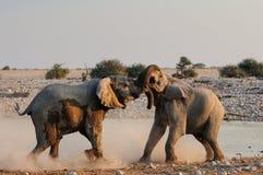 African elephants are fight, etosha nationalpark, namibia Royalty Free Stock Images
