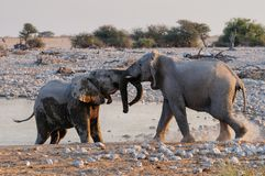 African elephants fight, etosha nationalpark, namibia. Loxodonta africana Royalty Free Stock Photos