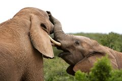 African Elephants Fighting Royalty Free Stock Images