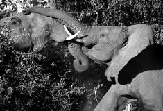 African Elephants fighting - Botswana. Two African Bull Elephants (Loxodonta africana) fighting in the Savuti area of Botswana Stock Images