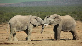 African elephants fighting stock footage
